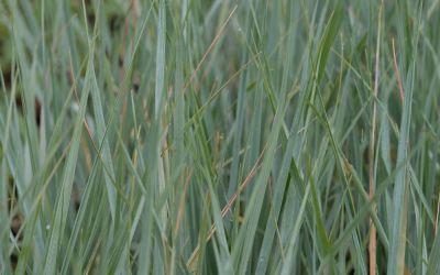 Elymus magellanicus - Magellan-Blaugras