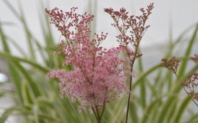 Filipendula rubra Venusta - Spierstaude