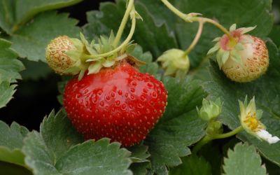 Fragaria x vescana Parfum® Fraisibelle® - Dauertragende Erdbeere