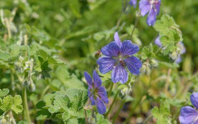 Geranium Renardii-Hybride Terre Franche - Kaukasus-Storchschnabel