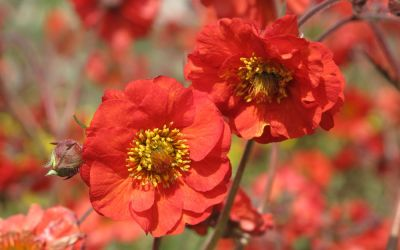 Geum x cultorum Red Wings - Nelkenwurz