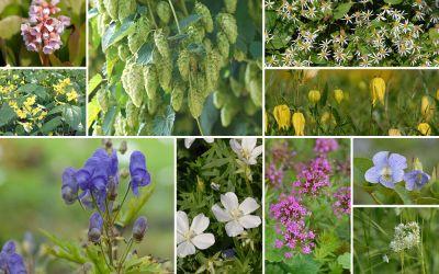 Hopfen, Clematis und Co. [14er, gf] - Gartenflora 21-06