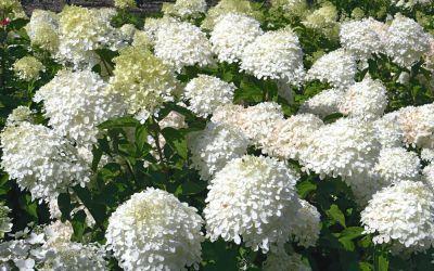 Hydrangea paniculata Phantom - Rispen-Hortensie