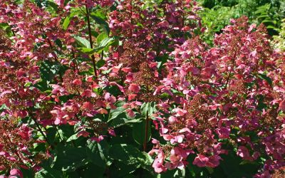 Hydrangea paniculata Wims Red ® - Rispen-Hortensie