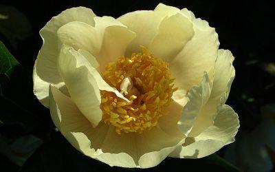 Paeonia Hybride Claire de Lune - Pfingstrose