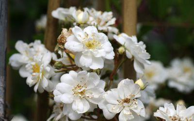 Rosa Moschata-Hybride Guirlande dAmour ® - Kletter-Rose, Rambler