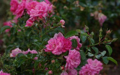 Rosa Palmengarten Frankfurt ® - Kleinstrauch-, Bodendecker-Rose