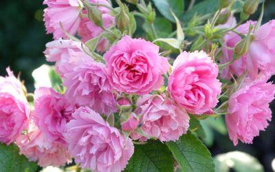Rosa Pink Grootendorst - Nostalgische Strauch-Rose, Nelken-Rose