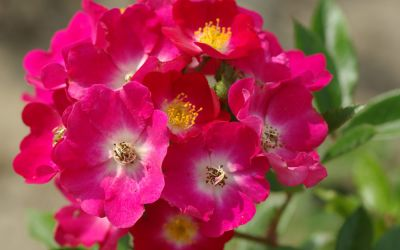 Rosa Red Ballerina ® - Floribunda-, Strauch-Rose