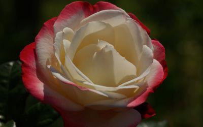 Rosa Nostalgie ® - Edel-Rose