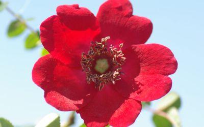 Rosa moyesii Geranium - Strauch-, Mandarin-Rose