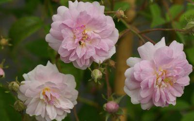 Rosa Pauls Himalayan Musk Rambler - Rambler