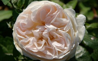 Rosa Sebastian Kneipp ® - Edel-Rose