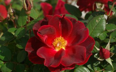 Rosa Zeelandia - Strauch-Rose