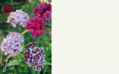 Dianthus barbatus Mischung - Bart-Nelke