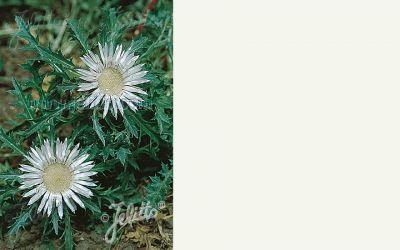 Carlina acaulis ssp. simplex - Stängel-Silberdistel