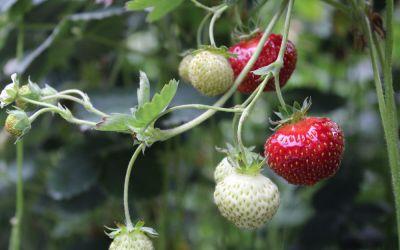 Fragaria x vescana Parfum® Freejumper® - Dauertragende Hänge-Erdbeere