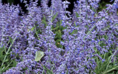 Perovskia atriplicifolia Lacey Blue - Kleine Blauraute, Silberbusch