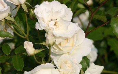 Rosa Climbing Schneewittchen ® - Kletter-Rose