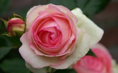 Rosa Eden Rose 85 ® - Strauch-Rose