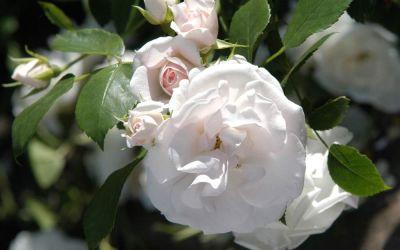 Rosa Aspirin ® Rose - Beet-Rose, Bodendecker-Rose