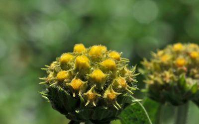 Phlomis fruticosa - Strauchiges Brandkraut