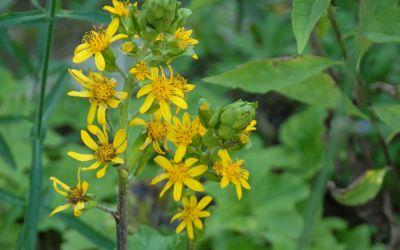 Ligularia fischeri - Greiskraut
