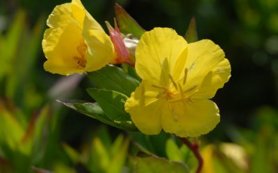Oenothera tetragona Erica Robin - Halbhohe Nachtkerze