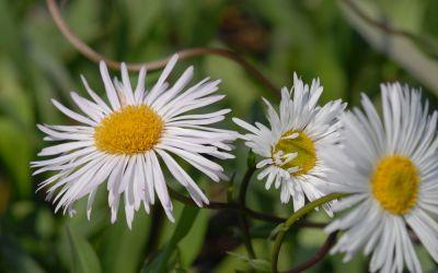 Erigeron Speciosus-Hybride Sommerneuschnee - Feinstrahlaster