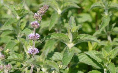 Mentha species Hillarys Sweet Lemon - Limonen-Minze