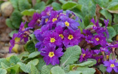 Primula Wanda-Hybride Wanda Gemischte Farben - Garten-Teppich-Primel