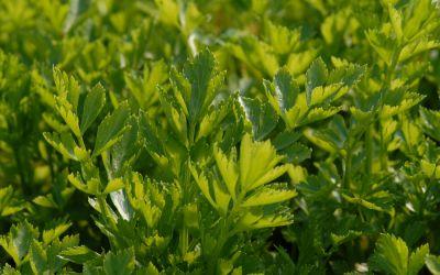 Apium graveolens var. secalinum Gewöhnl. Schnitt - Schnitt-Sellerie