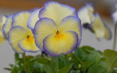 Viola cornuta Etain - Horn-Veilchen