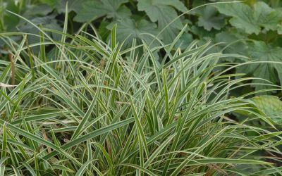 Carex morrowii ssp. foliosissima Icedance - Bodendecker-Japan-Segge