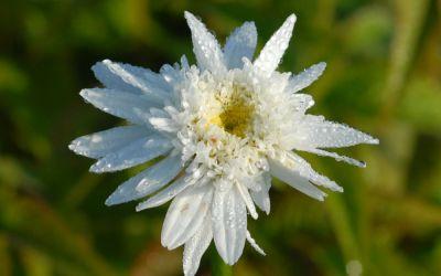 Leucanthemum Maximum-Hybride Stina - Sommer-Margerite, Garten-Margerite