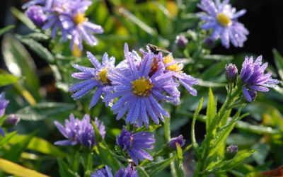 Aster dumosus Lady in Blue - Kissen-Aster