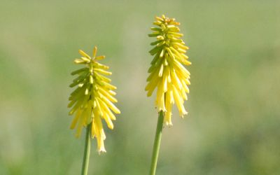 Kniphofia Hybride Candlelight - Fackellilie