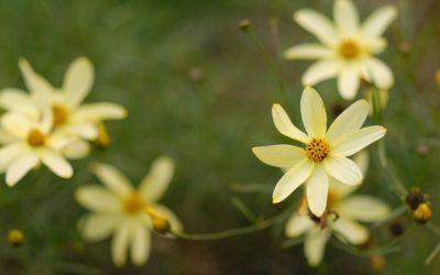 Coreopsis Verticillata-Hybride Moonbeam - Nadelblättriges Mädchenauge
