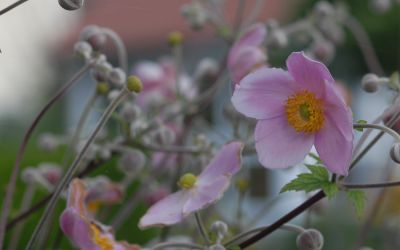 Anemone tomentosa 'Robustissima' - Herbst-Anemone
