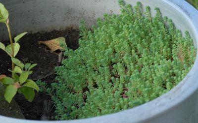 Sedum hispanicum var. minus - Spanischer Mauerpfeffer