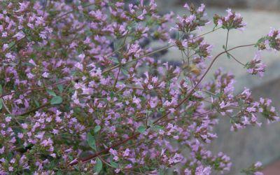 Origanum Laevigatum-Hybride Aromatico - Schweizer Oregano, Blüten-Oregano