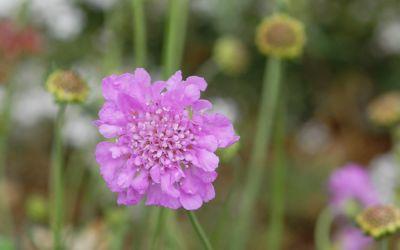 Scabiosa columbaria Pink Mist - Tauben-Skabiose