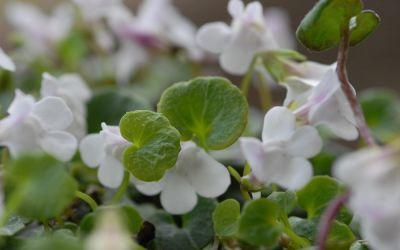 Cymbalaria hepaticifolia - Korsisches Zimbelkraut