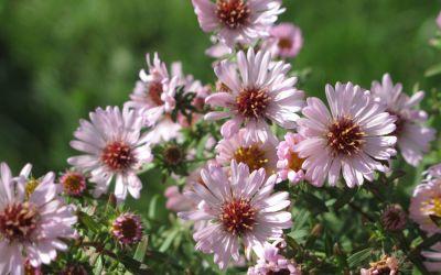 Aster x amethystinus Kylie - Kleinblütige Herbst-Aster