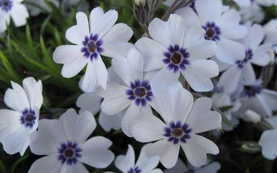 Phlox subulata Bavaria - Polster-Phlox, Teppich-Phlox