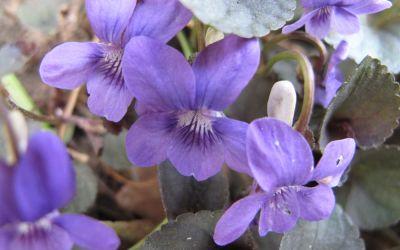 Viola labradorica  - Grönland-Veilchen
