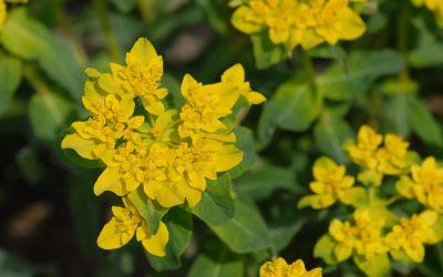 Euphorbia polychroma  - Gold-Wolfsmilch