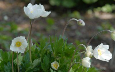 Anemone sylvestris - Großes Windröschen
