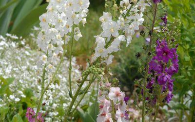 Verbascum phoeniceum  - Königskerze