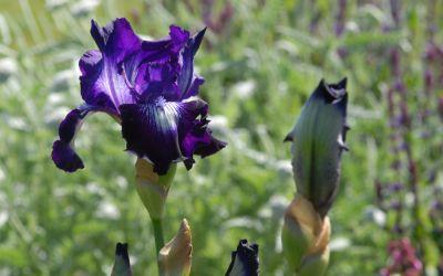 Iris barbata-elatior Winners Circle - Hohe Bart-Iris, Schwertlilie